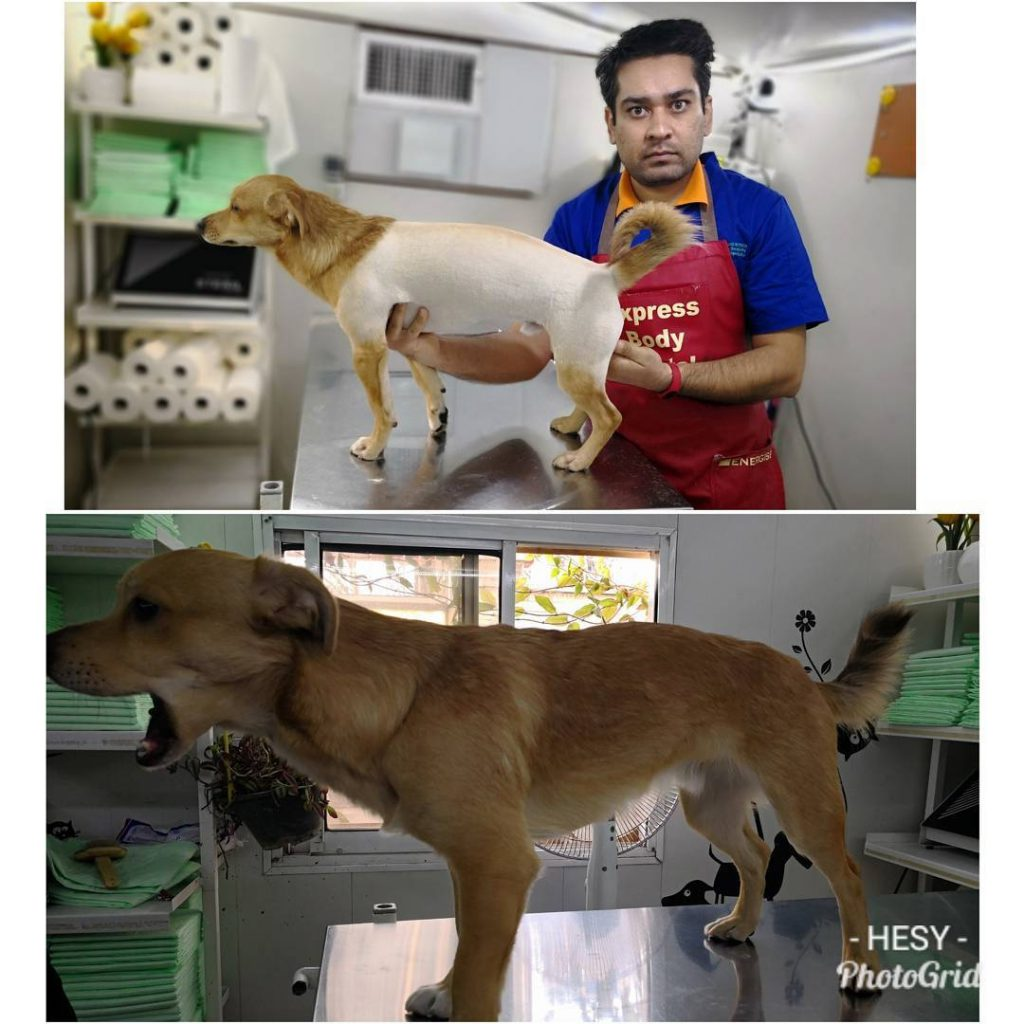 آرایش مدل دار سگ اشپیتز