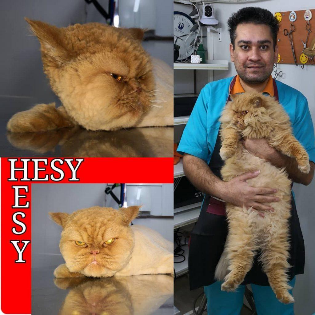 آرایش مدل دار گربه پرشین توسط حسام حسینی